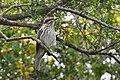 Myiodynastes maculatus -Rocha, Uruguay-8 (1).jpg