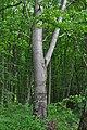 Mykulyntsi-buky-n5-15056862.jpg