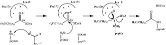 Myristoylation - Myristoylation addition mechanism by N-myristoyltransferase.