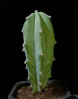 Myrtillocactus geometrizans black