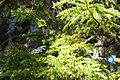 Myrtle Warbler (27941828792).jpg