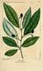 NAS-082 Persea borbonia.png