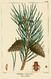 NAS-138 Pinus sylvestris.png