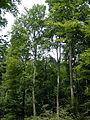 NSG Seelbachs- und Eulenbruchswald, Rotbuche.jpg
