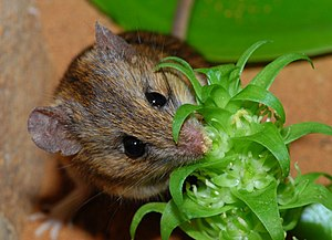 Namaqua rock mouse feeding on Pagoda Lily nectar.jpg