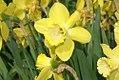 Narcissus Century 1zz.jpg