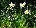 Narcissus medioluteus1.jpg