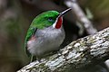 Narrow billed tody 5.jpg