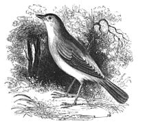 Natural History, Birds - Nightingale.jpg