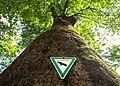 Naturdenkmal Rotbuche 2-1 im Zentrum von München.jpg