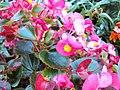 Nature Among Us Pink Beauties.JPG