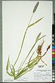 Neuchâtel Herbarium - Alopecurus pratensis - NEU000100157.jpg