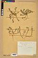 Neuchâtel Herbarium - Alyssum alyssoides - NEU000021956.jpg