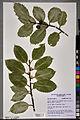 Neuchâtel Herbarium - Ilex aquifolium - NEU000100876.jpg