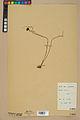Neuchâtel Herbarium - Juncus jacquinii - NEU000044957.jpg