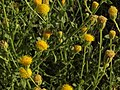 Nevada rockdaisy, Perityle megalocephala var. megalocephala (16152097291).jpg