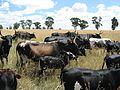 Nguni cattle.jpg