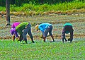 No back pains for rice grains (2).jpg