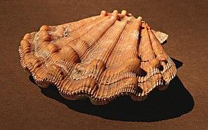 Nodipecten subnodosus - Image: Nodipectensubnodosus