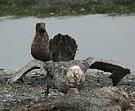 Northern Giant Petrel eating lunch (5724586851).jpg