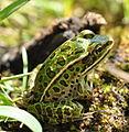 Northern Leopard Frog (Lithobates pipiens).jpg