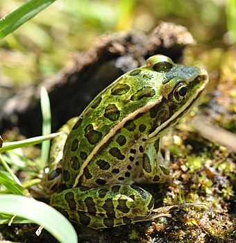 Many species of frogs live in wetlands, while others visit them each year to lay eggs. Northern Leopard Frog (Lithobates pipiens).jpg