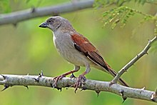 Northern grey-headed sparrow (Passer griseus ugandae).jpg