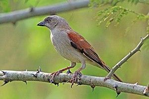Northern grey-headed sparrow - P. g. ugandae Semliki Wildlife Reserve, Uganda