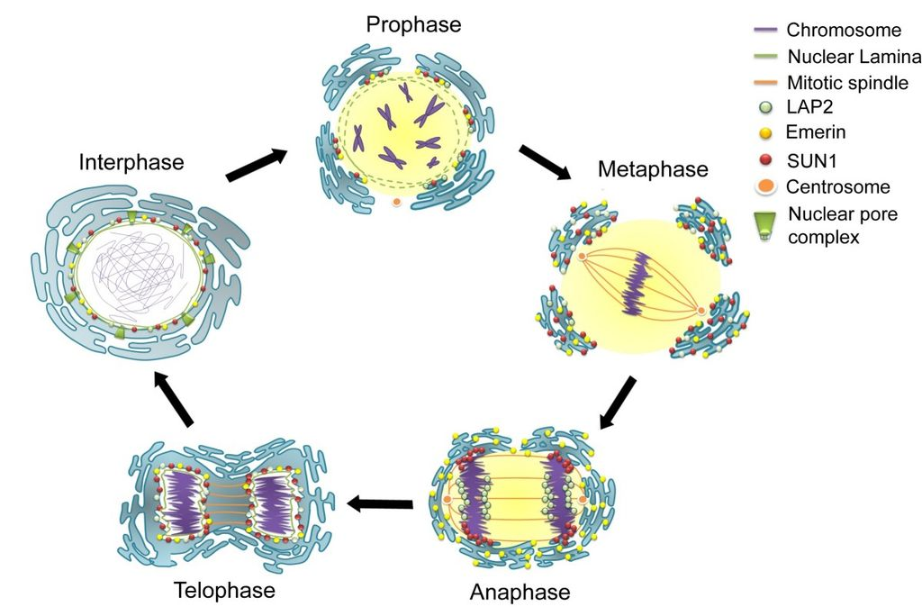 File:Nuclear envelope breakdown and reassembly in mitosis ...