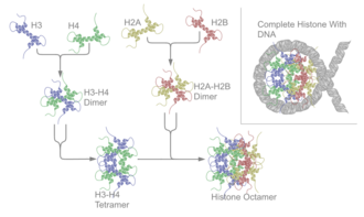Histone - Schematic representation of the assembly of the core histones into the nucleosome.