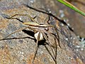 Nursery Web Spider (Pisaura mirabilis) female with cocoon (14519404733).jpg