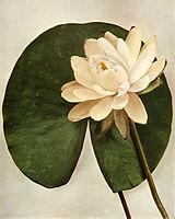 Nymphaea odorata ssp tuberosa WFNY-058.jpg