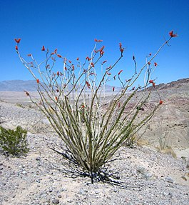 Ocotillo at Anza-Borrego.jpg
