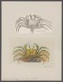 Ocypoda ceratophthalma - - Print - Iconographia Zoologica - Special Collections University of Amsterdam - UBAINV0274 094 01 0006.tif