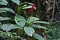 Odontonema tubaeforme (Acanthaceae) (29276649744).jpg