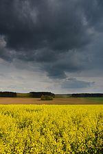 Oilseed rape field (31906430686).jpg