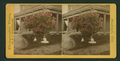 Oleander tree in Mr. Littlehale's lawn, Stockton, California, by Batchelder, B. P., 1826-1891.png