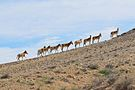 Onagers Negev Mountains 1.jpg