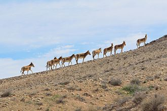 Onager - Onagers at Wadi Lotz, Negev Mountains, Israel