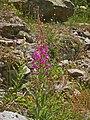 Onagraceae - Epilobium angustifolium (8304696340).jpg
