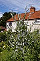Onopordum acanthium in cottage garden at Boreham, Essex, England.jpg