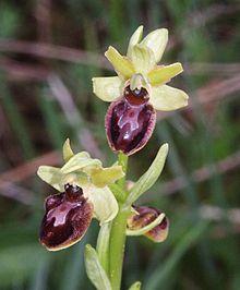 Ophrys sphegodes 140506.jpg