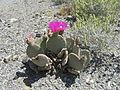 Opuntia basilaris var. basilaris (5697877647).jpg