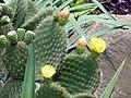 Opuntia leucotricha - Kunming Botanical Garden - DSC03053.JPG