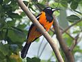 Orange-backed Troupial RWD.jpg