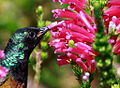 Orange-breasted Sunbird, Anthobaphes violacea (8418492919).jpg