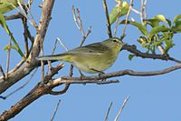Orange-crowned Warbler 741289647