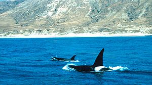 Channel Islands National Marine Sanctuary - Image: Orcas off Santa Rosa island