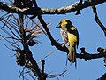 Orchard Oriole (first year male) (33774372543).jpg