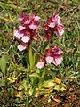Orchis papilionacea Rhodos 12.jpg